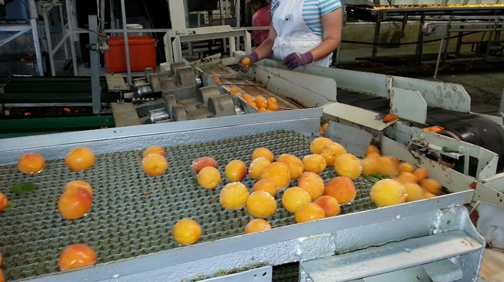 Operations Management Fruit Processing Factory