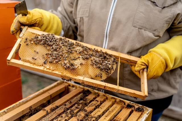 Beekeeper holding a frame with honeycomb